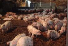 Photo of Бестамақтағы шошқа фермасының жұмысы тоқтатылды