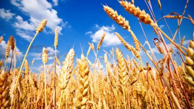 Photo of Объем сельхозсубсидий вырос втрое в Акмолинской области