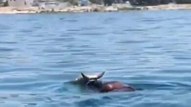 Photo of Бык удрал от хозяина и пытался скрыться вплавь по морю в Актау