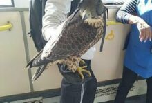 Photo of Сокол катался в автобусе в Кокшетау