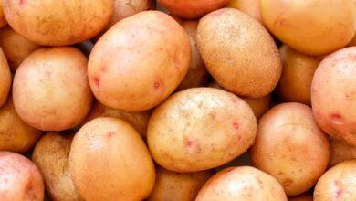 Photo of Казахстанские ученые вывели новый сорт картофеля