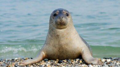 Photo of Каспийского тюленя занесли в Красную книгу РК