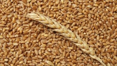 Photo of Экспорт акмолинского зерна вырос до двух миллионов тонн в год