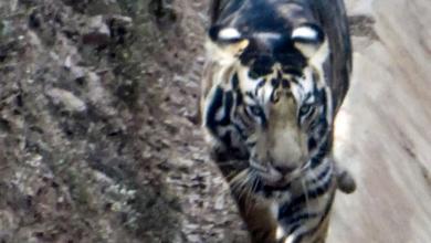 Photo of Редкого черного тигра сфотографировали в Индии