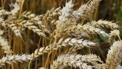 Photo of Акмолинская пшеница пользуется спросом в 26 странах мира