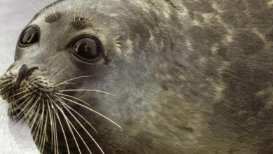 Photo of Каспийский тюлень занесен в Красную книгу Казахстана: чем ему это грозит