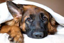 """Photo of Ученые разработали """"умный"""" ошейник, способный определять эмоции собак"""