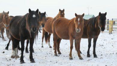 Photo of Пропавших 80 лошадей нашли в 25 километрах от села Баратай