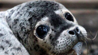 Photo of Затискали до смерти: детеныш тюленя погиб в Приморье