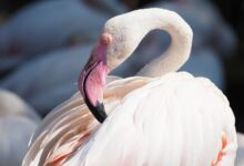 Photo of Заблудившегося розового фламинго сняла на видео жительница Акмолинской области
