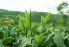 Photo of Мир ожидает подорожание индийского чая