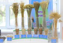 Photo of «Таймас»: новый сорт пшеницы разработали акмолинские селекционеры