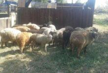 Photo of 19 пропавших с выпаса овец нашли в Тайыншынском районе