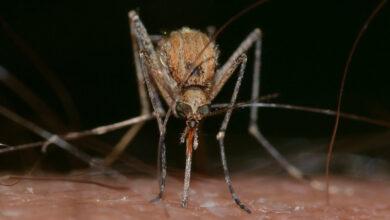 Photo of Комаров-мутантов выпустили на волю в США