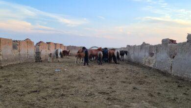 Photo of 29 пропавших лошадей вернули астанчанину акмолинские полицейские