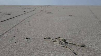 Photo of Сотни фламинго погибли на пересохшем озере в Турции