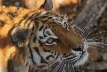 Photo of Охоту на краснокнижных животных разрешили в России