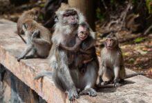Photo of Дикие обезьяны организовали банды и массово бьются за еду в Таиланде